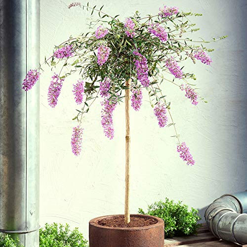 Buddleja davidii 'Lavender Flow'   Lila Schmetterlingsflieder Winterhart   Blühender Zierstrauch  ...