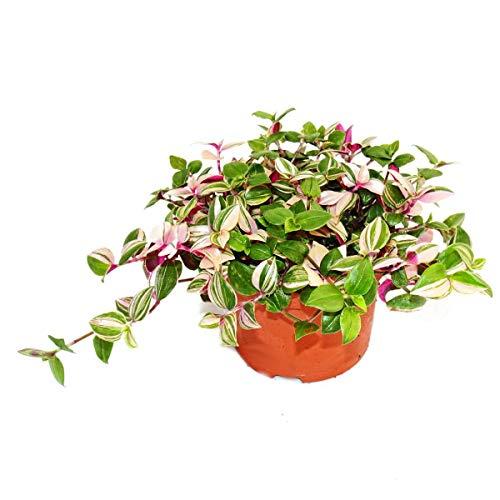 Exotenherz - Dreimasterblume - Tradescantia quadricolor - pflegeleichte hängende Zimmerpflanze -...