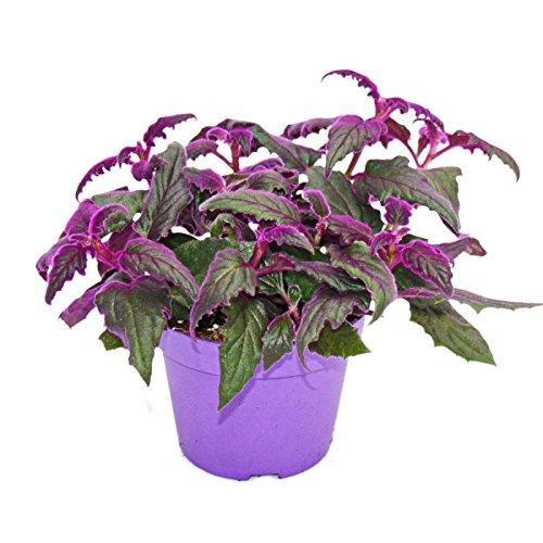 Exotenherz - Gynura Purple Passion - Samtblatt - Samtnessel - lilafarbene Pflanze 12cm