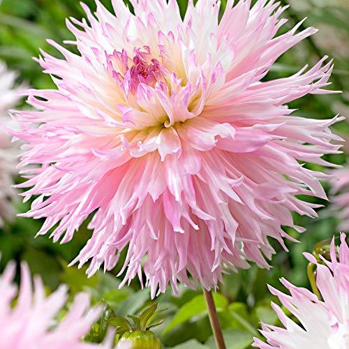 3x Dahlia'Nadia Ruth' | Dahlien Blumenzwiebeln rosa | Sommerblüher Mischung | Garten und Balkon