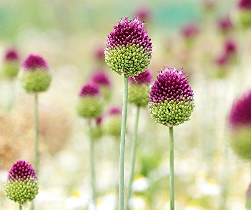 Allium sphaerocephalon - 20 Blumenzwiebeln