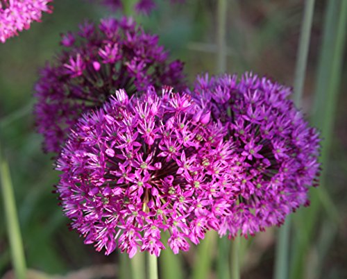 50 Allium Purpel Sensation Zierlauch Blumenzwiebeln