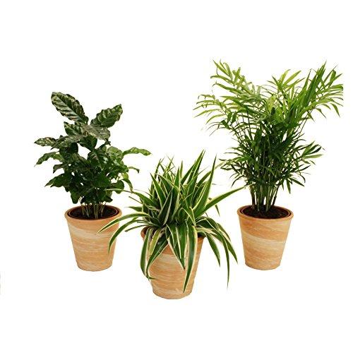 Dominik Blumen und Pflanzen, Indoor-Trio, Kaffee-Pflanze, Grünlilie und Zimmerpalme jeweils mit...