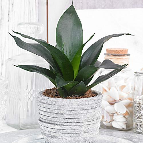 Sansevieria'Black Dragon'   Bogenhanf   Luftreinigende Zimmerpflanzen   Indoor Plants   Höhe...