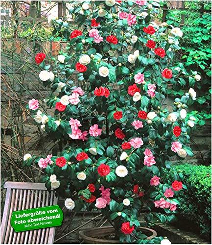 BALDUR Garten Winterharte Garten-Kamelie 'Tricolor', 1 Pflanze Camellia Japonica japanische Kamelie...