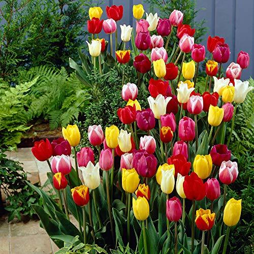 30x Tulipa'60 Days of Tulips'   30er Mix gemischte Tulpen Zwiebeln   Tulpenzwiebeln Winterhart...