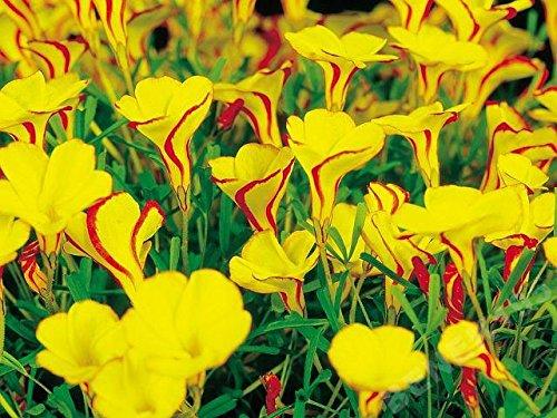 Oxalis Golden Cape - 2 Blumenzwiebeln