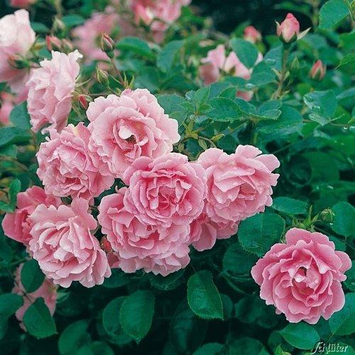 Rose Sommerwind- Bodendeckerrose reinrosanen Blüten - Kleinstrauchrose Pflanze Winterhart...