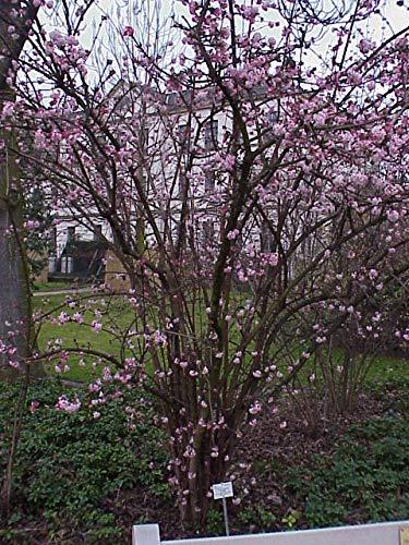 Winterschneeball Viburnum bod. 'Dawn' Winterblüher Gartenpflanze im Topf gewachsen