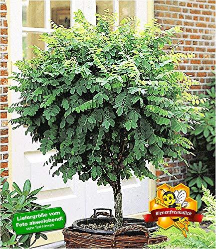 BALDUR Garten Kugel-Akazien-Stämmchen, 1 Pflanze, Robinia pseudoacaia Umbraculifera winterhart