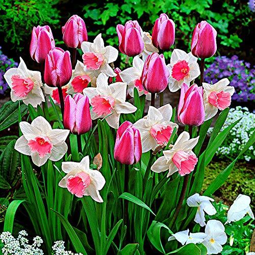25x Blumenzwiebeln Mischung | 25er Mix Tulpen und Narzissen | Rosa Mischung | Blumenzwiebeln...