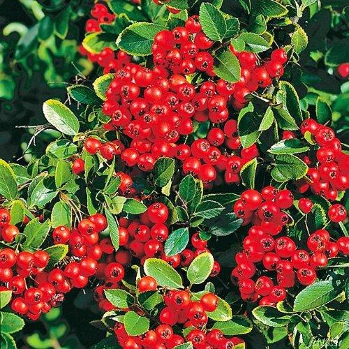 Feuerdorn Red Column Pyracantha Rot – Immergrüne Pflanze als Sichtschutz-Hecke -...