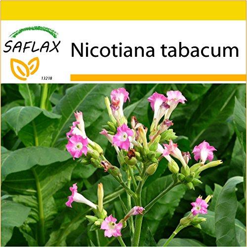SAFLAX - Anzucht Set - Echter Virginischer Tabak - 250 Samen - Mit Mini-Gewächshaus,...