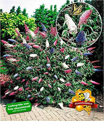 BALDUR-Garten Sommerflieder 'Papillion Tricolor' Buddleia Schmetterlingsflieder Tricolor...