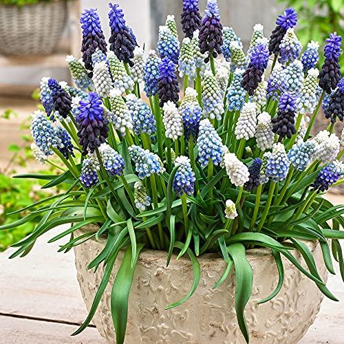 40x Muscari armeniacum   40er Mix Traubenhyazinthen Zwiebeln   Blau-weiße Blüte   Blumenzwiebeln...