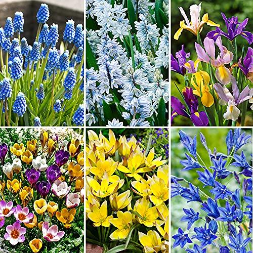 60x Blumenzwiebeln | 6x 10 Frühblüher Mix | Farbenfrohe Blüte | Blumenzwiebeln Frühblüher | Ø...