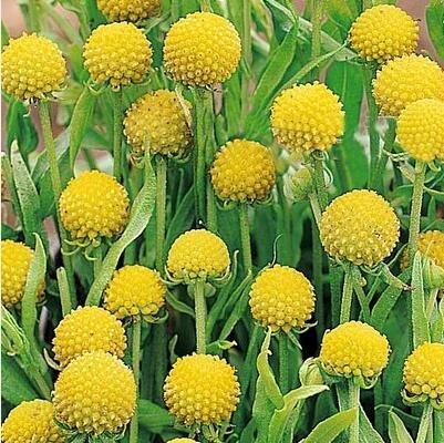 Pinkdose® Pinkdose Blumensamen: Craspedia Globosa Drumstick Samen Samen Paket (4 Pakete) Garten...