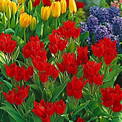 Tulipa praestans'Zwanenburg Variety' | 25er Set rote Tulpen | Blumenzwiebeln Ø 8-9cm