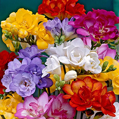 Freesia Doppelmischung - 10 Blumenzwiebeln
