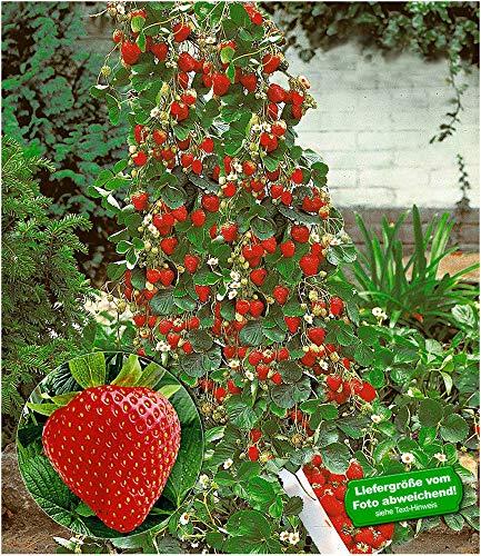 BALDUR Garten Kletter-Erdbeere 'Hummi®', 3 Pflanzen Fragaria Erdbeerbäumchen schnellwachsende...