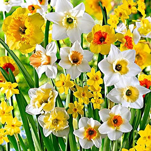 20x Narcissus   Duftende Narzissenzwiebeln   Mischung aus weiß-orange-gelben Blüten  ...