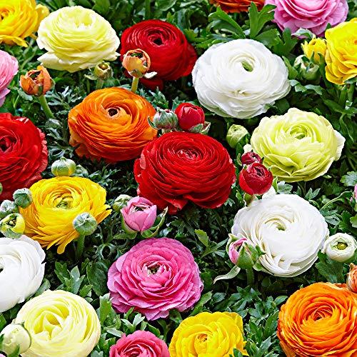 50x Ranunculus asiaticus | Doppelblütige Ranunkeln Zwiebeln | Blumenzwiebeln Mehrjährig | Ø 4-5...