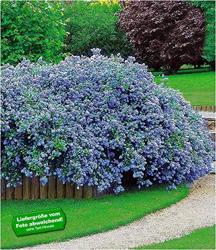 BALDUR-Garten Immergrün Ceanothus Säckelblume Blue Fashion, 3 Pflanzen Kalifornischer Flieder...