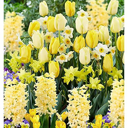 40x Blumenzwiebeln Mix 'Border Garden Yellow'   40er Set Gelbe Blütenmischung   Crocus + Narcissus...