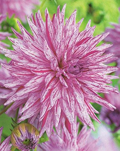 Kaktus Dahlien Großblütig Hy Trio Knolle Blumenzwiebel (1)