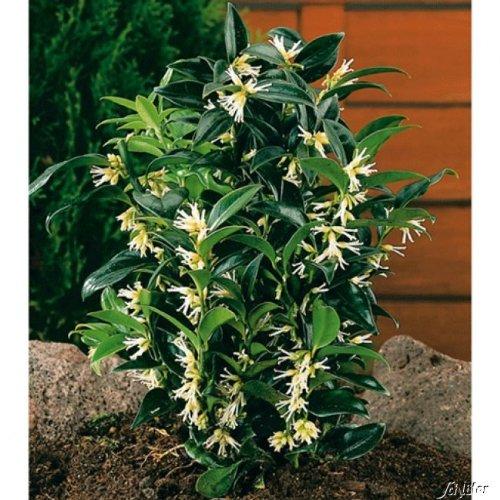 Duft-Fleischbeere -Sarcococca humilis- Kübel-Pflanze immergrün schwarze Früchte weiße Blüten...