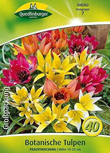 Quedlinburger 308382 Botanische Tulpe Prachtmischung (40 Stück) (Tulpenzwiebeln)