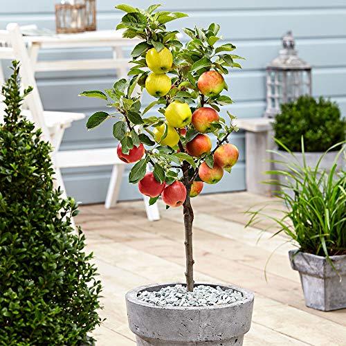 Malus domestica | Apfelbaum 3 Sorten | Obst Pflanzen | Obstbaum Winterhart | Höhe 70-80 cm |...