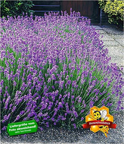 BALDUR-Garten Winterharte Stauden Lavendel-Hecke 'Blau' Duftlavendel, 9 Pflanzen Lavandula...