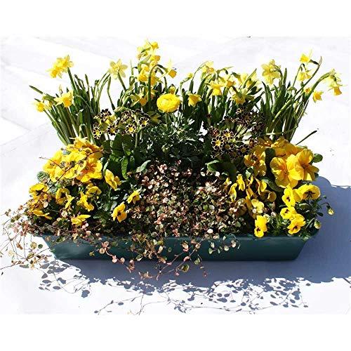 Frühlingspaket Sonnenschein - 15 Frühlingspflanzen in gelb in Gärtnerqualität von Blumen Eber -...