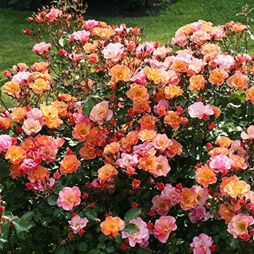 Rose Jazz® - Bodendeckerrose mehrfarbige Blüten in Orange Apricot Gelb - Kleinstrauchrose Pflanze...