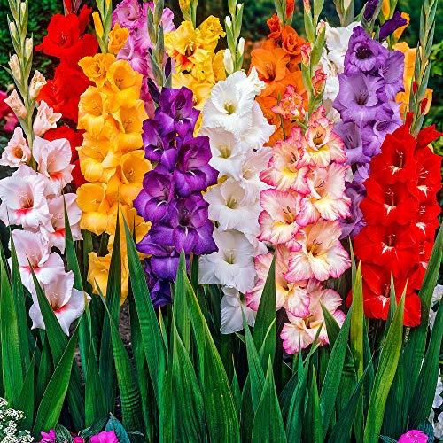 100x Gladiolus | Gladiolen Blumenzwiebeln Mischung | Gemischte Farben | Blumenzwiebeln für Garten...