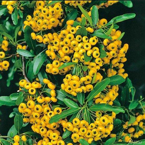 Feuerdorn Soleil d'or Pyracantha Gelb – Immergrüne Pflanze als Sichtschutz-Hecke -...