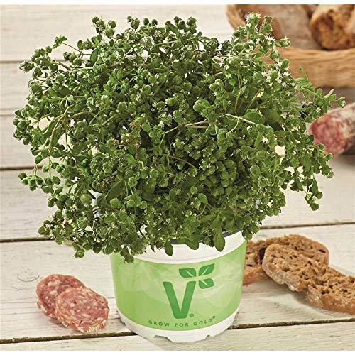 Italienischer Majoran 'Venezia', Origanum majorana - Kräuterpflanze, im Topf 11 cm, in...
