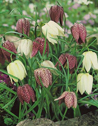 Schachbrettblumen Fritillaria Meleagris (50 Blumenzwiebeln)