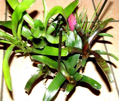 Mühlan Topartikel- Bromelienmix 4 verschiedene Bromelien für Terrarien und Paludarien, Bromelie