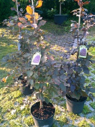 Blutbuche Fagus sylvatica purpurea 60-80 cm hoch im 3 Liter Pflanzcontainer