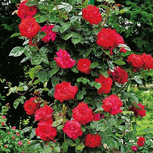 Kletterrose Santana - Kletter-Rose winterhart & duftend - Pflanze für Rankhilfe im 5 Liter...