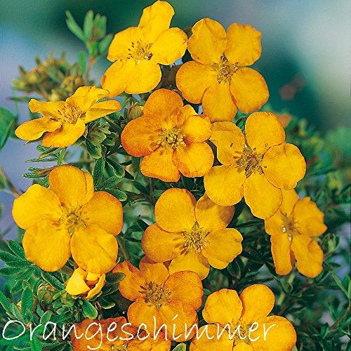 Fingerstrauch 'Orangeschimmer' – Potentilla – Dasiphora fruticose Strauch mit orange-roten bis...