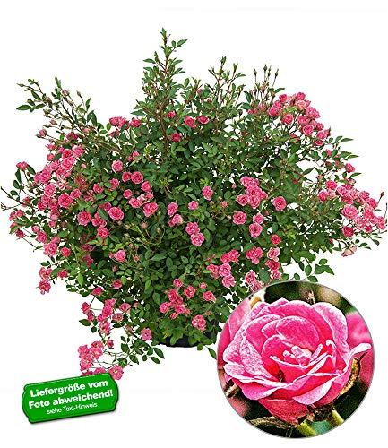 BALDUR-Garten Lilly Rose®'Wonder5', 1 Pflanze Balkonrose für Töpfe und Kübel winterhart