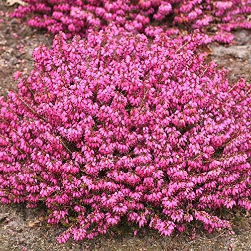 Winterheide - rot - Erica carnea - mit purpur-roten, feurigen Blüten - Schneeheide Winterblüher...