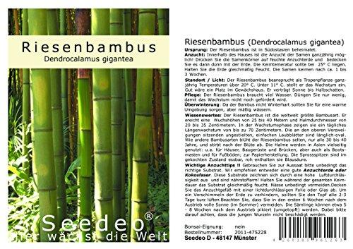 Seedeo® Riesenbambus (Dendrocalamus gigantea) 60 Samen