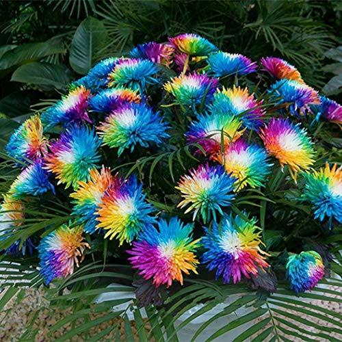 Beautytalk-Garten seltene Regenbogen Chrysantheme Blumensamen Pflanze Baum Haus Garten Balkon...
