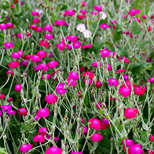 Rose Lichtnelke Samen - Vexiernelke (Lychnis coronaria