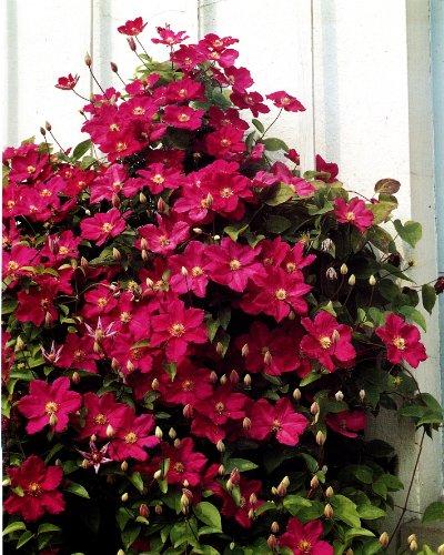 Clematis Ville de Lyon®. 1 Pflanze im 2 Liter Topf - zu dem Artikel bekommen Sie gratis ein Paar...