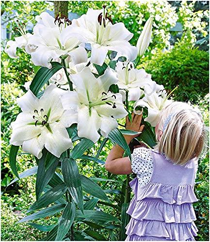 BALDUR Garten Tree-Lily Pretty Woman 3 Zwiebeln Baumlilien Lilium Hybride Lilien Zwiebeln winterhart...